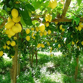 Lemon tour Costiera Amalfitana