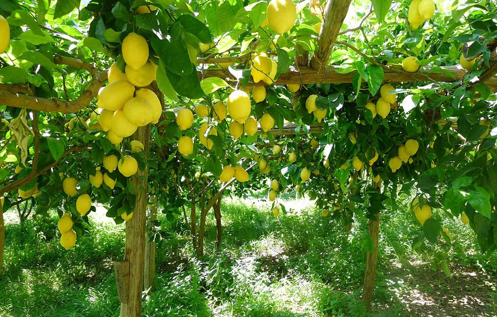 Noleggio scooter escursioni e trekking case vacanze for Coltivare limoni